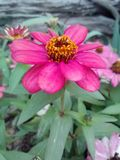 Hot Pink Flower. Garden zinnia nature colors royalty free stock images