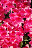 Hot Pink Flowers. Shine in the sun Royalty Free Stock Images