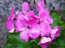 Hot Pink Geranium Stock Image