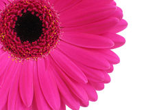 Hot Pink Gerbera. Bright pink gerbera (or Cape Daisy) focus is on petals royalty free stock images