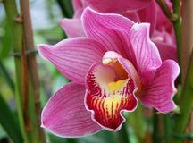 Hot Pink Orchid Royalty Free Stock Images