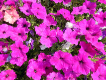 Hot pink petunia flower bed Stock Photography