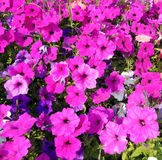 Hot pink petunia flower bed Stock Image
