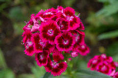 Hot pink and red flowers Royalty Free Stock Images