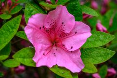 A hot pink rhododendron bloom stock photography