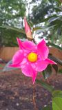 Hot pink Rio. 1st bloom of the year on my Rios Stock Image