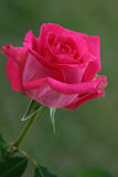 Hot Pink Rose Stock Photo