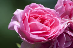 Hot Pink Rose Royalty Free Stock Images