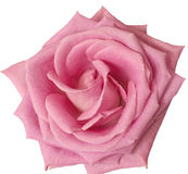 Hot pink rose close up on white Royalty Free Stock Images