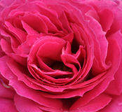 Hot Pink Rose in Full Bloom After Rain Closeup Stock Image