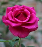 Hot pink rose. Single long stem hot pink rose with green leaves Stock Photo