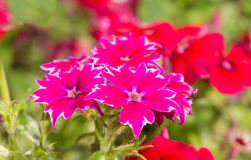 Hot pink and white Star Phlox flower Royalty Free Stock Photos