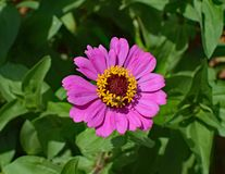 Hot Pink Zinnia With Bee, Bee Stock Images