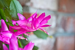 Hot Pinnk Christmas Cactus Flower Royalty Free Stock Images