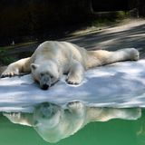 Hot polar bear. A polar bear suffering a hot summer Royalty Free Stock Photography