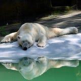 Hot polar bear Royalty Free Stock Photography