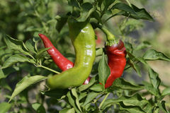 Hot Portugal Chili Peppers Royalty Free Stock Images