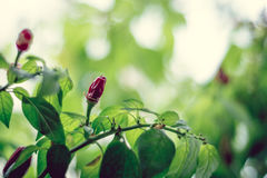 Hot red chili pepper growing. In the garden, closeup, shallow depth of field shot Stock Images