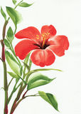 Hot red hibiscus Stock Photos