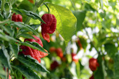 Bhut Jolokia Peppers Royalty Free Stock Photo
