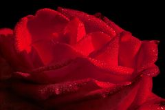 Hot red rose with waterdrops. Close-up of a hot red rose with water drops Royalty Free Stock Image
