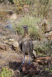 Hot Roadrunner Stock Photography