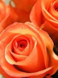 Hot roses. Macro shot of some very bright orange roses Royalty Free Stock Photos