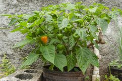 Hot Scotch Bonnet Pepper Tree In Flowerpot. A small hot Scotch bonnet pepper tree with green, mature, and ripe pepper on is planted in a black flowerpot tucked royalty free stock photography