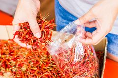 Hot and spicy Red Chilli on hand,Dried red chili,Pepper,Chillies as background for sale in a local food market,thai food ,close up Royalty Free Stock Photos