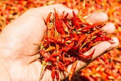 Hot and spicy Red Chilli on hand,Dried red chili,Pepper,Chillies as background for sale in a local food market,thai food ,close up Royalty Free Stock Photo