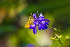 Gonepteryx Rhamni Royalty Free Stock Photography