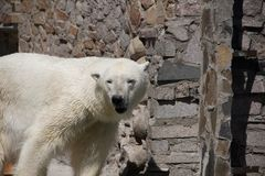 Polar bear in the zoo, polar bear in captivity Royalty Free Stock Image