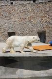 Polar bear in the zoo, polar bear in captivity Royalty Free Stock Photo