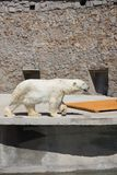 Polar bear in the zoo, polar bear in captivity Stock Images