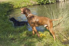 Hot summer day in rural pond. Hungarian hound (Viszla) standing wet in the pond. Royalty Free Stock Image