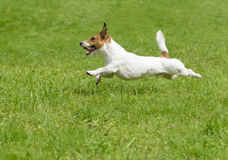 Hot summer dog days. Active terrier running quickly. Jack Russell Terrier playing on green grass Stock Images