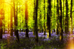 Hot Summer Forest. A bright sunny day in Ashridge of trees and bluebells with beautiful sunshine emerging from the left Stock Photo