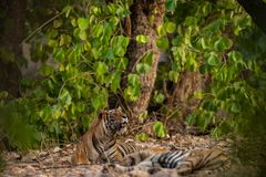 A mating pair of tigers resting after rounds of mating between these two tigers at ranthambore. In a hot summer A mating pair of tigers resting after rounds of stock photography