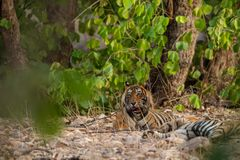 A mating pair of tigers resting after rounds of mating between these two tigers at ranthambore. In a hot summer A mating pair of tigers resting after rounds of stock images