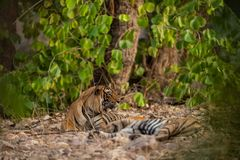 A mating pair of tigers resting after rounds of mating between these two tigers at ranthambore. In a hot summer A mating pair of tigers resting after rounds of stock photos