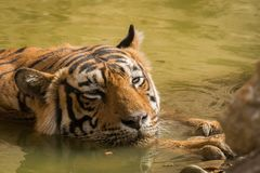 In hot summer at ranthambore A male tiger closeup he was cooling off in waterhole stock photo