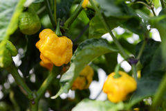 Hot Yellow Peppers Royalty Free Stock Images