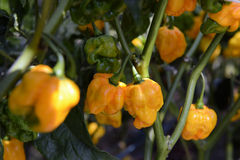 Scotch Bonnet Yellow Peppers Stock Image