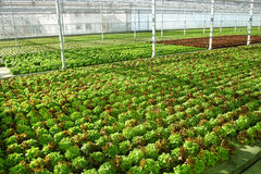 Hothouse. Industrial hothouse with lettuce sorts royalty free stock photos