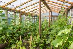 Hothouse from within. Cultivation of cucumbers in a hothouse Stock Photography