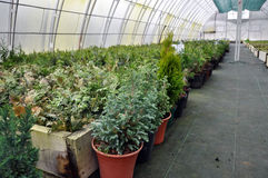 Hothouse for growing ornamental shrubs and cutting Stock Photography
