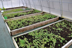 Hothouse for growing ornamental shrubs and cuttings_4. Polycarbonate greenhouses for growing cuttings of shrubs and ornamental crops in forestry Royalty Free Stock Photos