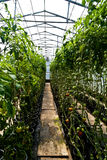 Hothouse tomatoes Royalty Free Stock Photography