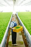 Hothouse worker. Young farmer with picked harvest standing in greenhouse between two plantations with growing lettuce Royalty Free Stock Photos