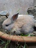 Hotot bunny Stock Photo